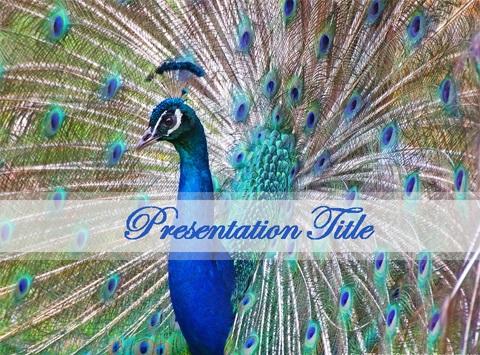 پاورپوینت طرح طاووس-تم پاورپوینت طبیعت-پاورپوینت طبیعت